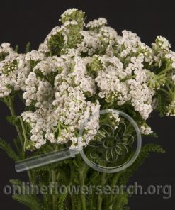 Yarrow Cottage White