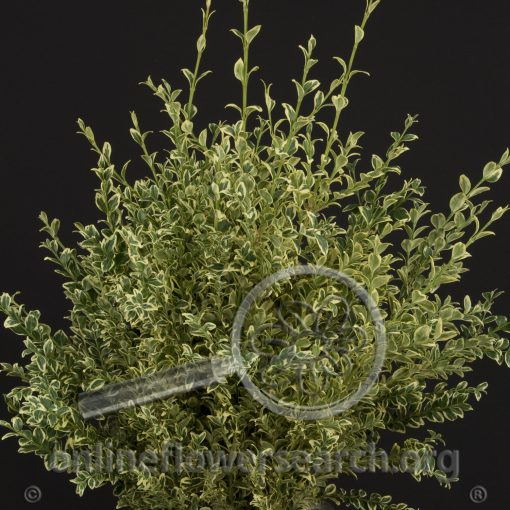 Boxwood Variegated (English)