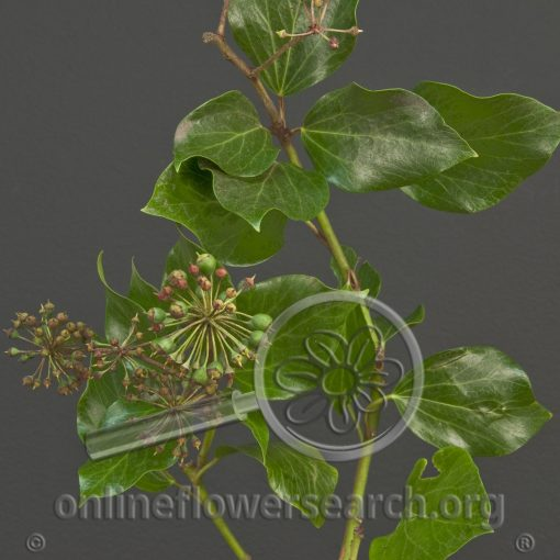 Bush Ivy (Tree Ivy) Green
