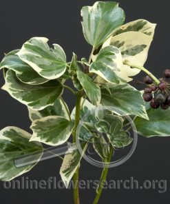 Bush Ivy (Tree Ivy) Variegated