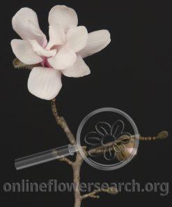 Tulip Magnolia - White