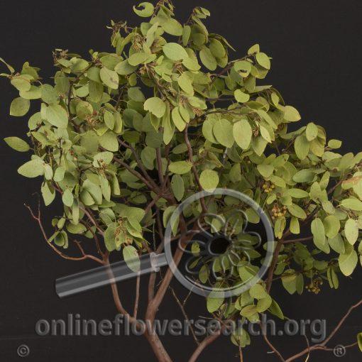 Manzanita Arctostaphylos sp.