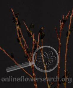 Pussy Willow Black