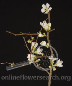 Quince White