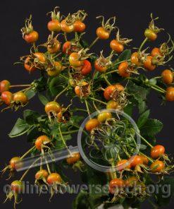Rosehips Orange