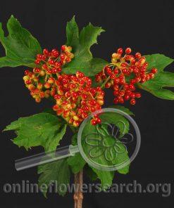 Viburnum Berry