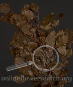 Copperbeech Bronze