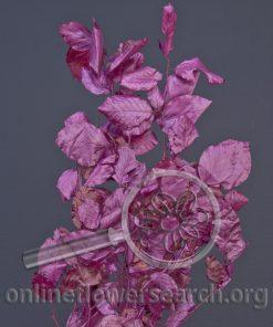 Copperbeech Purple