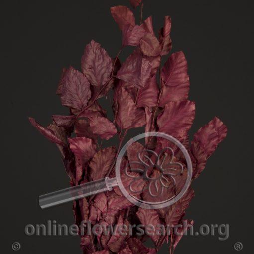 Copperbeech Red
