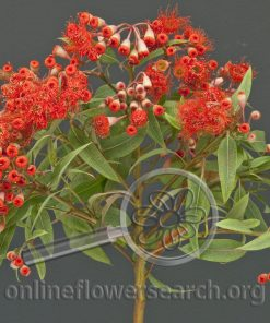 Eucalyptus Flowering Red