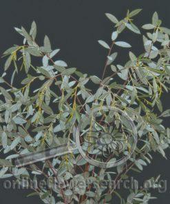 Eucalyptus latens 'Moon Lagoon'