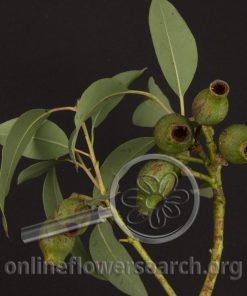 Eucalyptus Pods Fuchsia