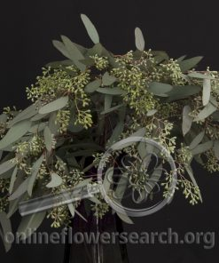 Eucalyptus Seeded Weeping