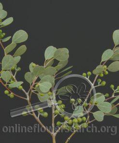 Eucalyptus Gum Drop