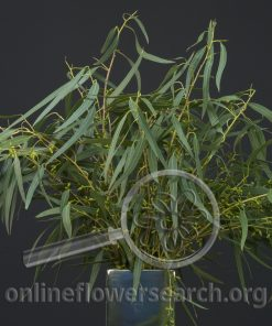 Eucalyptus Willow