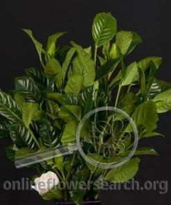 Gardenia Foliage