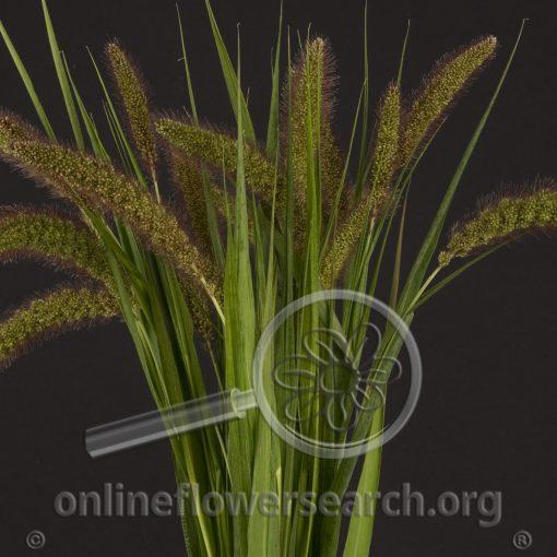 Grass Millet Brown (Foxtail Millet)
