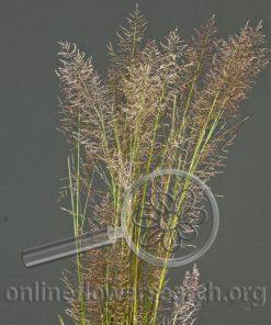 Grass Purple Plum