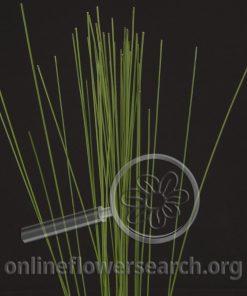 Grass Flexi