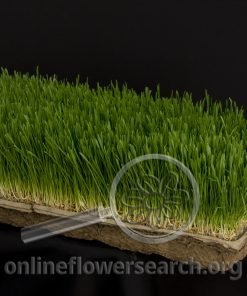 Wheat Grass Large Tray
