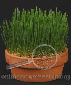 Wheat Grass Clay