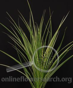 Grass Variegated Zebra