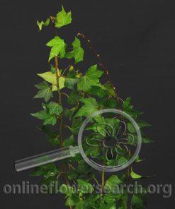 Ivy Cut Green