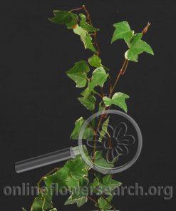 Ivy Cut Variegated