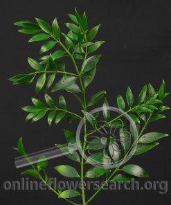 Nagi (Podocarpus)