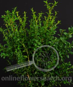 Oregonia Green