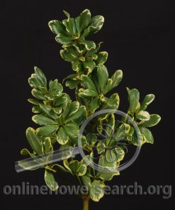 Pittosporum Variegated
