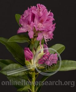Rhododendron Blooming Pink