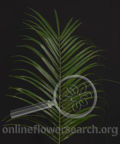 Roebelinii Foliage