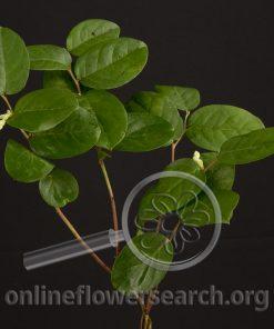 Salal (Lemon Leaf)