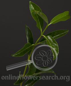 Viburnum (Foliage)
