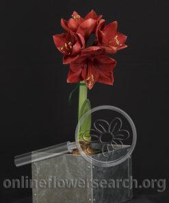 Amaryllis Plant Dark Red