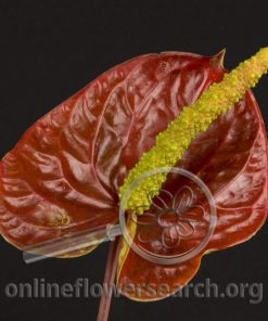 Anthurium Wild Thing