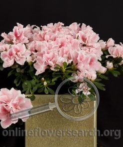 Azalea Light Pink