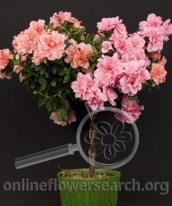Azalea Tree Pink
