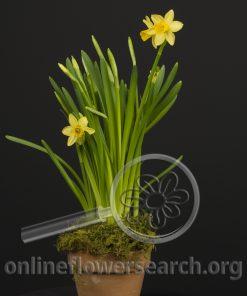 Daffodil Tete a Tete Potted