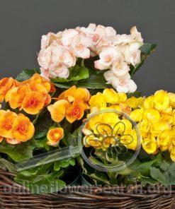 Begonia Reiger - Potted