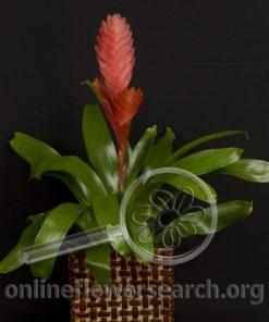 "Bromeliad Red ""Vriesea"""
