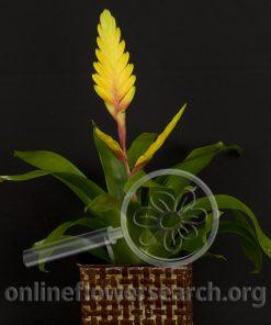 """Bromeliad Yellow """"Vriesea"""""""