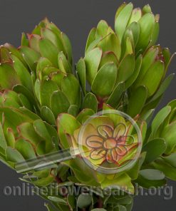 Leucadendron Water Lily
