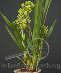 Cymbidium Plant