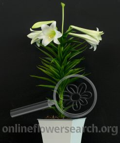 Easter Lily Potted