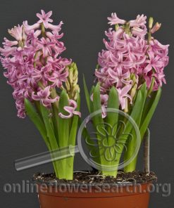 Hyacinth Potted