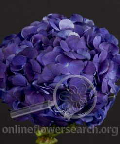 Hydrangea Dark Purple