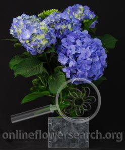 Hydrangea Blue Potted