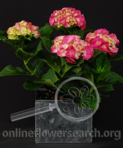 Hydrangea Pink Potted